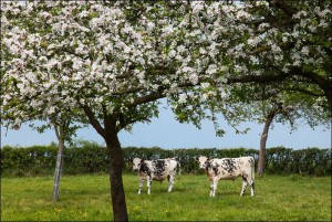 Normandy cows and apple trees